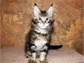 Honest Main Coon kittyAll kittens are raised in our home and are well socialized and handled   dai