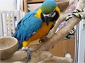 MALE AND FEMALE DNA MACAW PARROTS  they hand-bred and domesticated sold but the buyer let me down