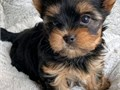 Our yorkie puppies are very well loved and socialized with outstanding temperaments and health We
