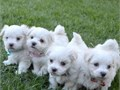 Magnificent tea cup Maltese puppies male and female AKC registeredParents are family pets Both