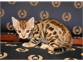 We have a very handsome super sweet Bengal kitten boy available He is ready to go to a new lovin