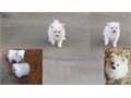 Purebred toy Pomeranian puppies  2 females first shot deworming first come first serve 600 for