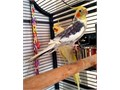 Selling a pair of cockatiels as they get on with my other parrotsThey are lovely and will make you