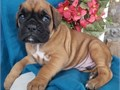 boxer puppies up for adoption for more info and pics please call or send text to 2133575110 thanks