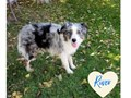 Beautiful Aussie Puppies all different color  sizes with thick coats1250  UpPotty trainedh