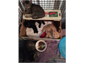 free Kittens very sweet litter trained in orange tabby black and black and white de wormed flea pr