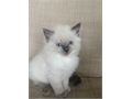 Charming Pure Ragdolls Males and FemalesThey have been family raised with lovelitter box trained