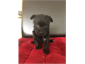 Beautiful Morkie puppies  1 pure breed yorkie that are great for kids  are house broken to pee pad