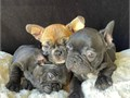 Hi I specialize in breeding and finding new homes for Frenchies Currently I h