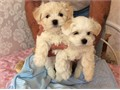 Two excellent pedigree Maltese puppies both mom and dad are AKC registered 300 each They are now