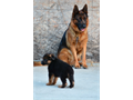 German Shepherd Imported Germany Fido Von Modithor 323893-2379   PuppiesSire Schumann Von T