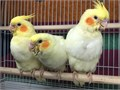 Please CALL at 616-414-0009Super tamed cockatielsHandfed and tamedAdoption fee 180 each