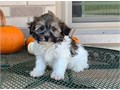 outstanding Havanese Pups for more info and pics contact us now at 205 346-7638