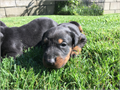 AKC Rare old German Doberman working line litter available Sire is a direct import from the old re