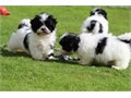 adorable Shih Tzu puppies are looking for loving homes and are as healthy as ever They are up to d
