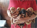 Beautiful mini dachshunds 8 weeks old red and black with tan miniature size with Vaccines done 850