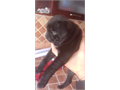 I have a black pug female  She is ready to go to her new home 8 weeks old vaccinated and dewormed