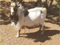 Nigerian Buck for sale  Beautiful black and white buck  Fun personality and loves to breed has pa