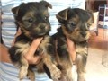 2 nice baby face Yorkie Puppies  My cute Yorkie puppies are vet checked dewormed playful love t