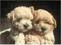 I have two AKC Male Toy Poodles Born Nov 14 2016 They will be 8 weeks old on Jan 9 2017Tails an