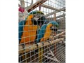 MALE AND FEMALE BLUEGOLD MACAWS HAVE BEEN DNA SEXES AND HAVE CERTIFACATES USED TO OUTDOOR AVAIRY