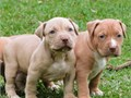 Pitbull  puppies to rehome Up to date on shots and deworming Reh000ming fee applies as  text for m