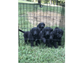 Labradoodles Ready Now 8 weeks old Shots wormed Raised in my Home 500423754-2863
