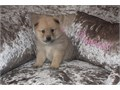 I have a wonderful litter of self whelped cream chow pups Both mother and father to the litter are