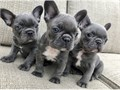 Four french bulldog pups available 2 brindlesThey are vaccinated microchipped  wormed Vet chec