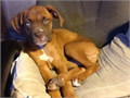 Female Boxer puppy a little over 4 months old Shes the last of the litter and the most affectiona