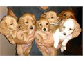 Beautiful pure bred mini long-haired dachshunds  Puppies will be ready for their forever homes afte