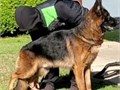 Akc german shepherd stud service 626 271 2324