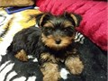 Extremely Charming Teacup yorkie PUPPIES Male  Female  Both male and female Puppies are very well