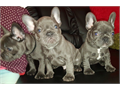 Our amazing solid blue french bulldog puppies are now 9 weeks old and they can leave their mumOur