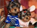 I have 4 beautiful AKC registered purebred Yorkie puppies for a good home They have had their first