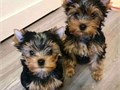 Adorable male and female yorkie puppies up for adoption They are home and potty trained Love the c