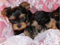 12 weeks old male and female Yorkie thats needs a new home Gets along with cats but is terrified o