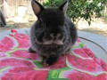 Purebred Netherland Dwarf Bunnies Very cute babies 8-10 weeks old  1 bigger smoke pearl male 25