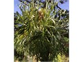 gorgeous 6 feet across 6 feet tall Staghorn Fern Cash Only Free local delivery after payment in full
