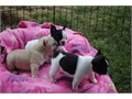Well Trained French Bulldog puppies They are very well socialized are used to children as well