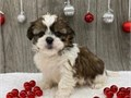 Male and female shih tzu puppies for pet lovers They are 12 weeks old vet checked dewormed and ha