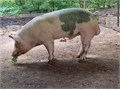 YorkHamp Boar 300 he is roughly one and half years old only reason for selling I have another boa