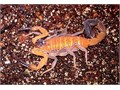 If you want a natural method to heal and look younger you have to take a look into Blue Scorpion Ve