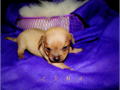 Chihuahuas These precious pups are waiting on special people This is my 3rd litter and this lit