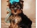 cute teacup yorkie puppies for good home 214 612 4790 text us for more details and pics