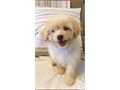 Adorable MalShiPoo Puppy 1 female available with first shots Socialized playful affectionate and