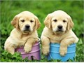 here i have my cute labrador pups they are 12weeks old and 1year quarantine of vaccine very sad t