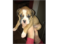 Olde English Bulldogge Puppies for SaleCurrently 5 weeks old and taking deposits for March 17th r