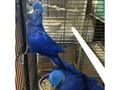 we have a beatitul young pair hyacinth macaws available birds are dna sexed unrelated text 818-821-