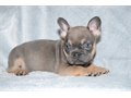 Akc French bulldog puppies We have 2 beautiful litters of standard colors which are 2500 and rare